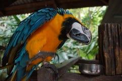 Papagaio da arara que senta-se em um ramo, um bico poderoso, penas Fotografia de Stock