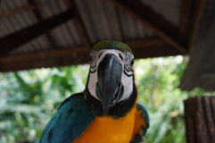 Papagaio da arara que senta-se em um ramo, um bico poderoso, penas Foto de Stock Royalty Free