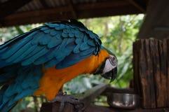 Papagaio da arara que senta-se em um ramo, um bico poderoso, penas Foto de Stock