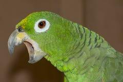 Papagaio das Amazonas Fotos de Stock Royalty Free