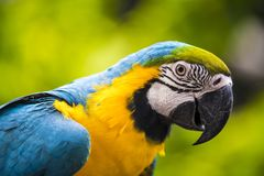 Papagaio das aros Foto de Stock