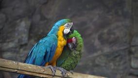 Papagaio das aros que limpa seu amigo video estoque