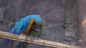 Papagaio das aros que limpa seu amigo vídeos de arquivo