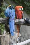 Papagaio de Ara Macaw Fotografia de Stock