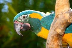 Papagaio de assento fotografia de stock