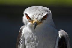 Papagaio de Blackshouldered Imagens de Stock