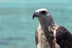 Papagaio de Brahminy Fotografia de Stock Royalty Free