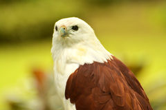 Papagaio de Brahminy imagens de stock