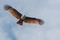 Papagaio de Brahminy Fotos de Stock Royalty Free