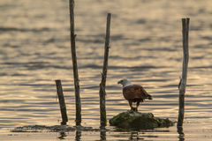 Papagaio de Brahminy na lagoa da baía de Arugam, Sri Lanka imagem de stock royalty free