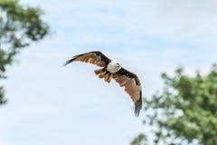 Papagaio de Brahminy que sobe no céu azul Imagens de Stock