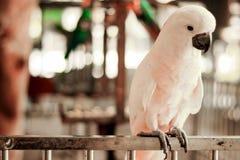 Papagaio de cacatua Imagem de Stock