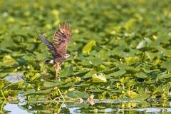 Papagaio de caracol fêmea Imagem de Stock
