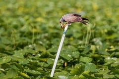 Papagaio de caracol masculino Imagem de Stock