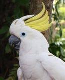 Papagaio de cockatoo branco Foto de Stock