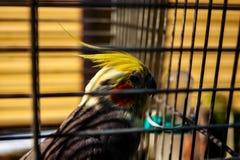 Papagaio de Corella em uma gaiola imagem de stock royalty free