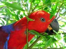 Papagaio de Eclectus Fotografia de Stock Royalty Free