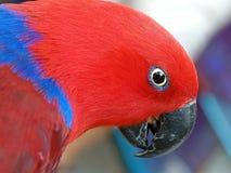 Papagaio de Eclectus fotografia de stock