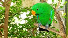 Papagaio de Eclectus Fotos de Stock Royalty Free