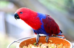 Papagaio de Eclectus no alimentador do pássaro Foto de Stock Royalty Free