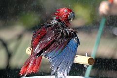 Papagaio de Eclectus que tem um chuveiro Fotografia de Stock Royalty Free