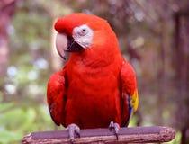 Papagaio de fala colorido em uma vara imagens de stock
