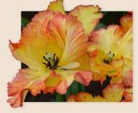 papagaio de florescência Amarelo-alaranjado de Caribbeab das tulipas Variedade rara Botão revelado Fim acima Foto de Stock Royalty Free
