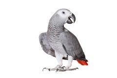 Papagaio de Jaco e partes de batata crua isolados em um fundo branco Foto de Stock Royalty Free
