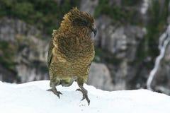 Papagaio de Kea Foto de Stock