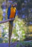 Papagaio de Macow fotografia de stock