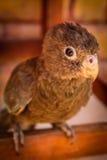 Papagaio de Madagáscar Fotografia de Stock