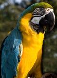 Papagaio de Mccaw Foto de Stock Royalty Free