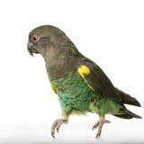 Papagaio de Meyer fotografia de stock