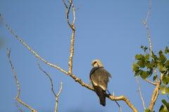 Papagaio de Mississippi, mississippiensis de Ictinia Fotos de Stock
