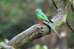 Papagaio de Mulga Imagens de Stock Royalty Free
