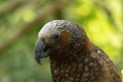 Papagaio de Nova Zelândia Kaka Brown fotografia de stock