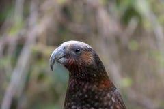 Papagaio de Nova Zelândia Kaka Brown, cabeça imagens de stock royalty free