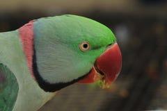 Papagaio de Ringnecked Foto de Stock