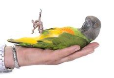 Papagaio de Senegal no estúdio foto de stock