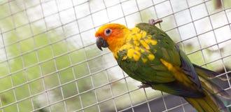Papagaio de Sun Conure Fotografia de Stock Royalty Free