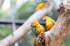 Papagaio de Sun Conure Imagens de Stock