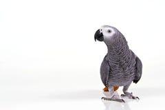 Papagaio de Supprised imagem de stock