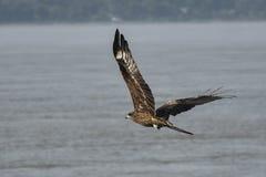 papagaio de voo sobre o Rio Brahmaputra imagem de stock