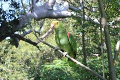 Papagaio de Yellowhead das Amazonas Fotografia de Stock
