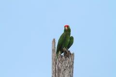 Papagaio dirigido vermelho Imagem de Stock