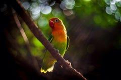 Papagaio do arco-íris no ramo Imagem de Stock Royalty Free