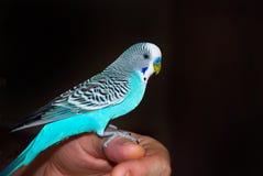 Papagaio do Budgerigar em sua mão foto de stock royalty free