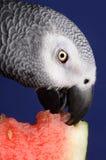 Papagaio do cinza africano fotografia de stock