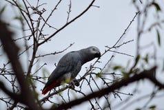 Papagaio do cinza africano fotos de stock royalty free