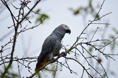 Papagaio do cinza africano fotos de stock